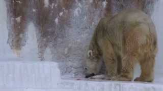 Download 「この鮭取られてなるものか」のバフィン・誕生会にて    天王寺動物園のホッキョクグマ Video
