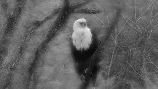 Download Djuma: Fish Eagle - 07:06 - 01/24/2020 Video