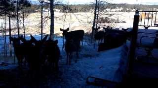 Download Man feeds large pack of deer. Video