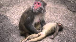 Download A Mother Monkey and her Dead baby Video
