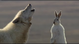 Download Wolf Pack Hunts A Hare - The Hunt - BBC Earth Video