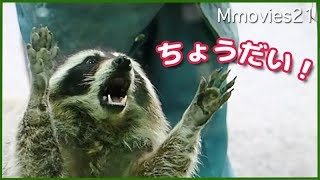 Download アライグマのチャン ごはん頂戴!Common Raccoon stand up Video