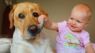 Download Labrador Dog and Baby Compilation Video