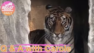 Download Wildcat Walkabout at Big Cat Rescue in Tampa, FL where we will visit with rescued lions, tigers, le Video