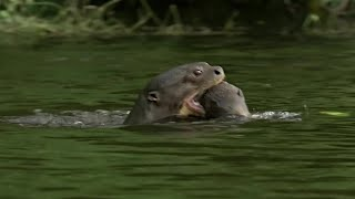 Download Otter Family Kills Caiman | BBC Earth Video