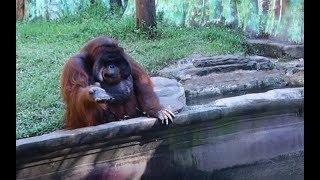 Download Orangutan asks for banana, throws back peel Video