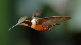 Download Stunning Slo-Mo Footage of Hummingbirds Hovering in Air Video