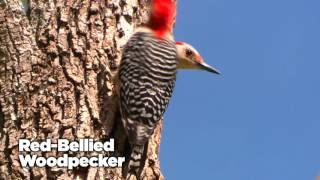 Download Woodpeckers - AskMDC Video