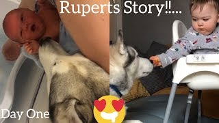 Download My Husky Took Time To Love My Baby But Now The Bond Is So Beautiful! [RUPERTS STORY!] Video