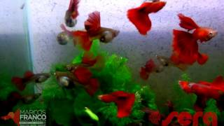 Download FULL RED BIG DORSAL by MARCOS FRANCO GUPPY Video