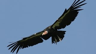 Download California condors Video