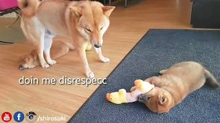 Download shiba inu dad do ANGERY - Part 9 Video