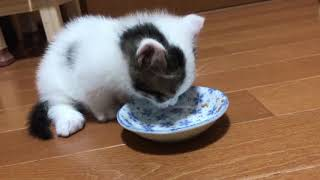 Download ごはんの後すぐ、トイレに行く子猫がかわいい It is adorable how the kitten goes to the toilet right after eating. Video