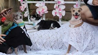 Download My Dogs' Wedding Video