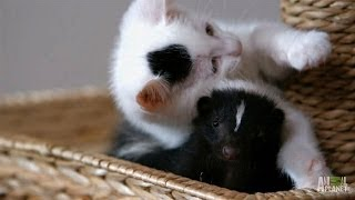 Download Who Knew Kittens and Skunks Made Such Good Friends? | Too Cute! Video