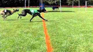 Download Whippets Running Slowly Video