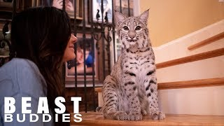 Download We Share Our Home With Two Bobcats | BEAST BUDDIES Video