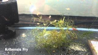 Download 10 Easiest Fish to Breed + Care For Video