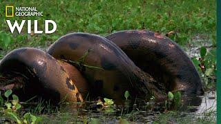 Download Anaconda Devours Huge Meal   Monster Snakes Video