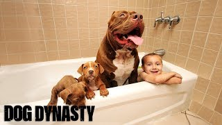 Download Giant Pit Bull Hulk's $500,000 Puppy Litter Video