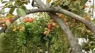 Download Cây Hồng Dòn Sai Trái tại Saigon Nhỏ - California USA Video