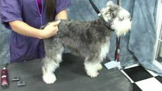 Download Schnauzer Grooming at OnlineGroomingSchool. Take a Free Test Drive! Video