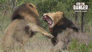 Download Incredible Aggression As Male Lions Fight (4K Video) Video