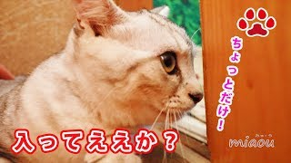 Download 新入り仔猫が猫部屋に入っちゃった The kitten entered the cat room 【瀬戸のアリス日記】 Video