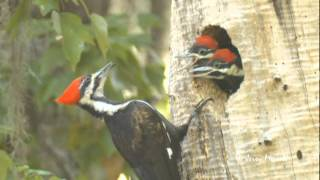 Download Pileated Woodpecker Nest Video