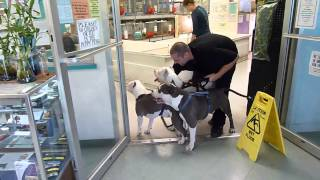 Download 3 Pit Bulls in a Pet Store! ** MUST WATCH** Video
