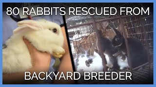 Download More Than 80 Rabbits Rescued From Backyard Breeder | PETA Animal Rescues Video