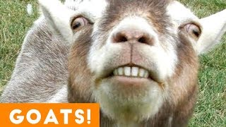 Download Cutest Goat Compilation 2018 | Funny Pet Videos Video