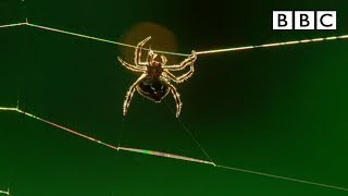 Download Amazing spider baffles scientists with huge web | The Hunt - BBC Video