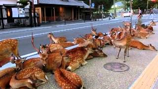 Download Horde of deer occupying the road at Nara. 奈良公園の鹿達、道路を占領して涼を取る Video
