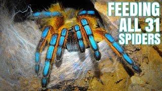 Download Feeding my 31 Tarantulas (GONE WRONG) Video