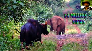 Download Elephant & Indian Bison in one Frame. Video