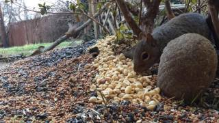 Download Tuesday January 17th, 2017 Squirrel Cam and Bird Feeder Cam Video