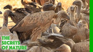 Download Vultures - Africa's Wild Wonders - The Secrets of Nature Video
