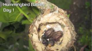 Download Hummingbird Babies Birth to Fledging the Nest ~ First Flight ~ Amazing! Video