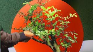 Download Proses pengawatan Bahan Bonsai Serut   Cara membuat bonsai serut Video