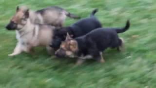 Download German Shepherd Puppies For Sale Video