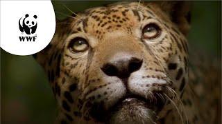 Download WNF-commercial: De Amazone geeft ons leven Video
