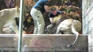 Download MGM lion attack in Las Vegas Video