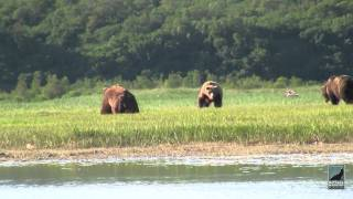 Download Katmai Alaska Grizzly Bear Viewing in HD. Kingdom of the Grizzlies with Natural Habitat Adventures Video