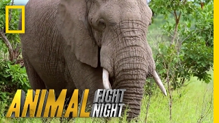 Download An Elephant Smack Down | Animal Fight Night Video