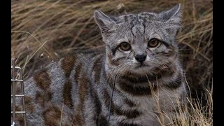 Download Top 5 Rarest Cat Breeds In Existence Today! Video