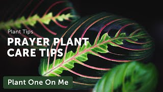 Download Ep 031: Plant One On Me: Prayer Plant (Marantaceae) Care Video