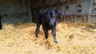 Download Playing With A Baby Calf Video