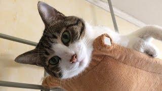Download 猫の天性ってなんやねん? 酔っ払いお父の戯言【猫日記こむぎ&だいず】2017.08.19 Video