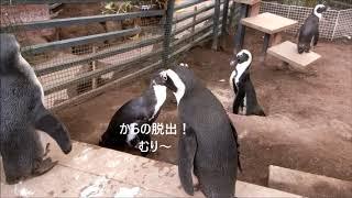 Download 救世主・ケープペンギンハニーちゃん・伊勢シーパラダイス Video